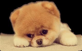 Pomeranian Allt Om Den Jattesota Hundrasen Pomeranian